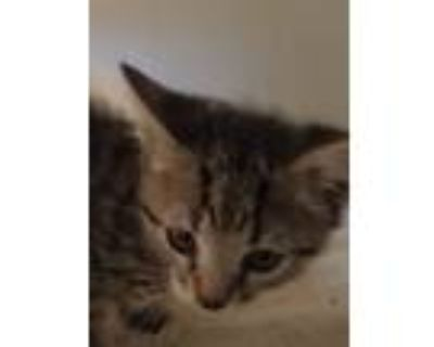 Adopt Chip a Domestic Shorthair cat in Calimesa, CA (31635184)