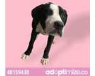 Adopt 48159438 a Black American Pit Bull Terrier / Labrador Retriever / Mixed