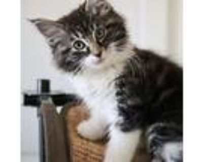 Muffin, Maine Coon For Adoption In Long Beach, California