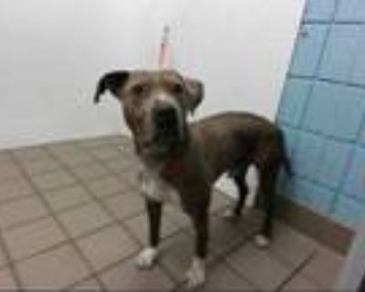 Adopt DOMINIK a Brindle - with White American Pit Bull Terrier / Mixed dog in
