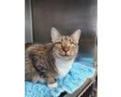 Adopt Molly a Tan or Fawn Tabby Domestic Shorthair (short coat) cat in Umatilla
