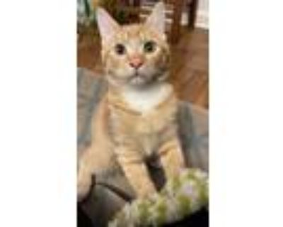 Adopt Nemo a Orange or Red (Mostly) American Shorthair / Mixed (short coat) cat
