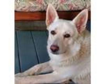 Adopt Elijah Chariot a German Shepherd Dog