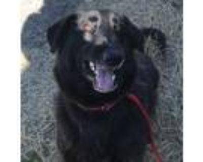 Adopt Sirius Lee a Black Labrador Retriever / Mixed dog in Oakland