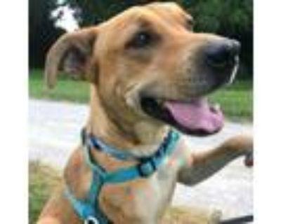 Adopt Daisy a Tan/Yellow/Fawn Labrador Retriever / Mixed dog in Kansas City