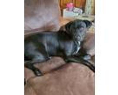 Adopt Yoyo a Retriever, Staffordshire Bull Terrier