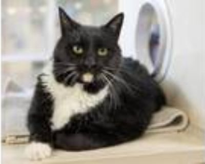 Adopt CAT a Domestic Short Hair
