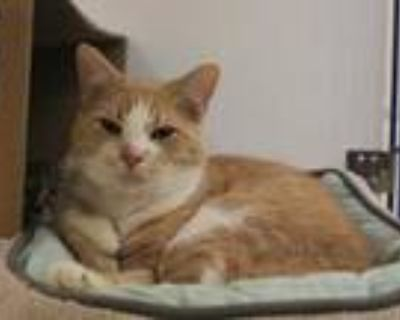 Adopt GOLDFISH a Orange or Red (Mostly) Domestic Shorthair / Mixed (short coat)