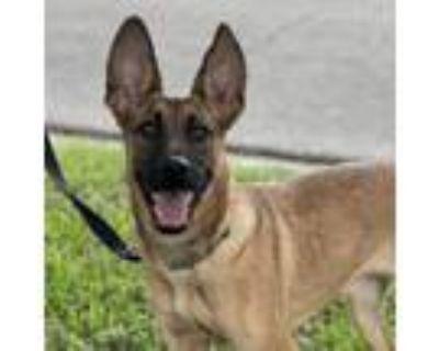 Adopt Shay a Belgian Shepherd / Tervuren, German Shepherd Dog