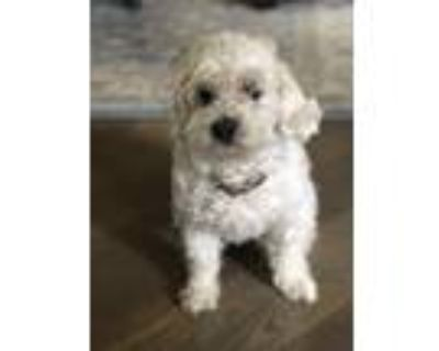 Adopt Brandy a White - with Tan, Yellow or Fawn Lhasa Apso / Poodle (Miniature)