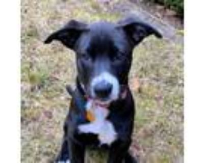 Adopt Pepper a Black - with White Border Collie / Mixed dog in Sunnyvale