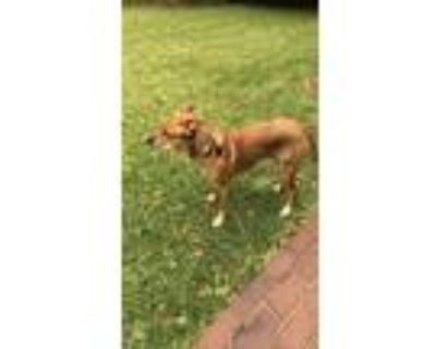 Adopt Bailey a Tan/Yellow/Fawn - with White Setter (Unknown Type) / Labrador