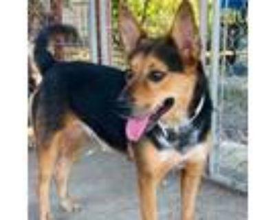 Adopt Nessa a Australian Cattle Dog / Blue Heeler, Shepherd