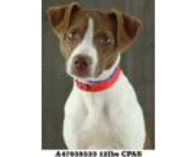Adopt Corky a White Terrier (Unknown Type, Small) / Mixed dog in Shreveport