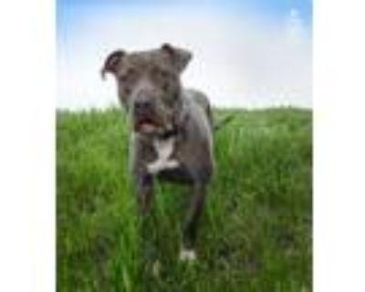 Adopt Spirit a Gray/Blue/Silver/Salt & Pepper American Pit Bull Terrier / Mixed