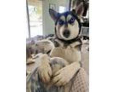 Adopt KALA a Siberian Husky