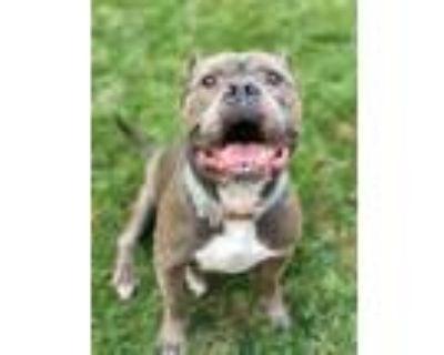 Adopt JoJo! a Pit Bull Terrier