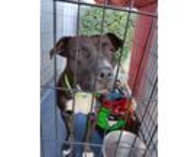 Adopt Kennedy AKA. Wiggle Butt a Black Staffordshire Bull Terrier / Mixed dog in