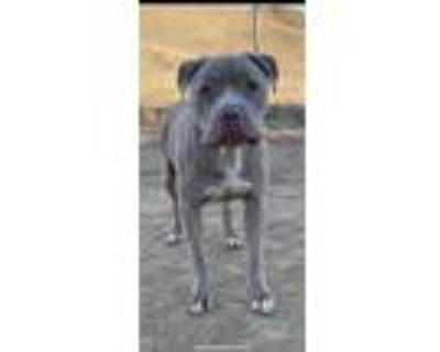 Adopt Maximo a Pit Bull Terrier