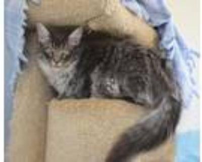 Adopt Matt the Cat a Domestic Medium Hair, Tabby
