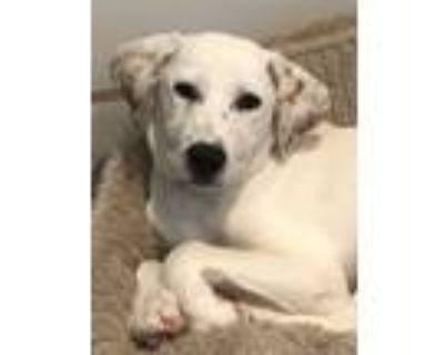 Adopt Latte a Labrador Retriever, Hound
