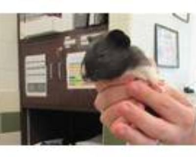 Adopt *G PIG 7 a White Guinea Pig / Mixed small animal in Derwood, MD (31616002)