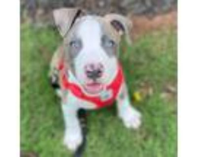 Adopt Bella 11335 a Gray/Silver/Salt & Pepper - with Black Pit Bull Terrier /