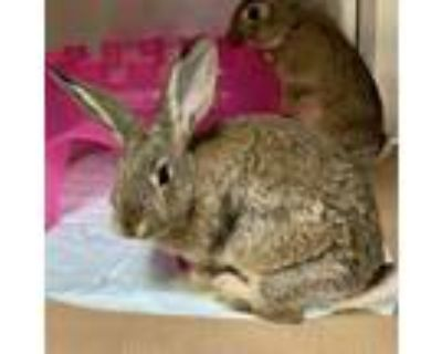 Adopt WILLOW a Fawn Other/Unknown / Mixed rabbit in Boston, MA (32074282)
