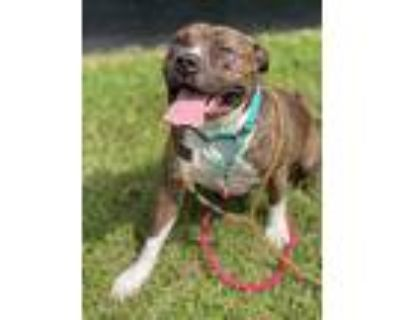 Happy (brg), American Pit Bull Terrier For Adoption In Portland, Oregon