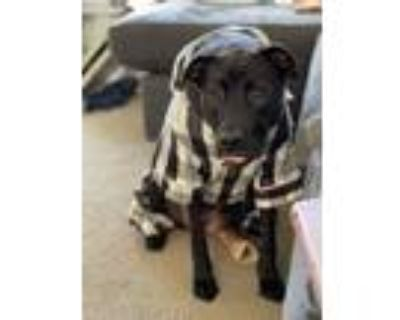 Adopt Remembering Avi the Saberwoof a Labrador Retriever / Mixed dog in