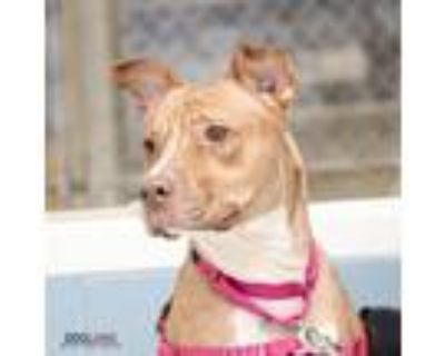 Adopt Jada a Red/Golden/Orange/Chestnut American Pit Bull Terrier / Mixed dog in