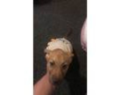 Adopt Princess a Tan/Yellow/Fawn American Staffordshire Terrier / Chow Chow /