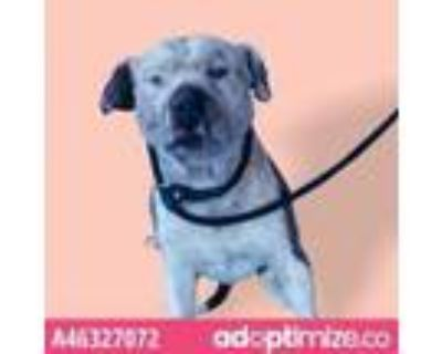 Adopt 46327072 a Pit Bull Terrier, Mixed Breed
