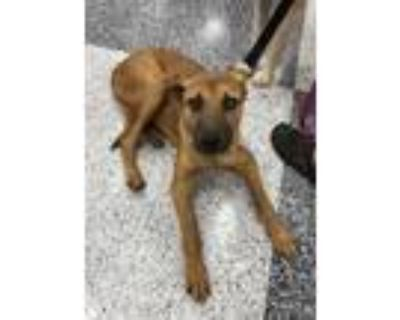 Adopt Sophie a Brown/Chocolate Shepherd (Unknown Type) / Mixed dog in Tucson