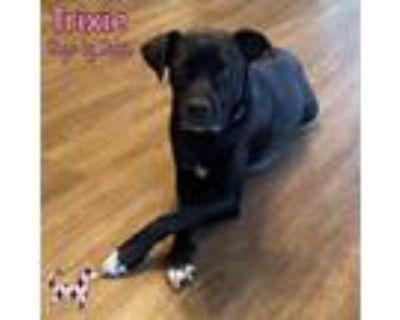 Adopt Trixie a Black Boxer / Retriever (Unknown Type) / Mixed dog in KANSAS
