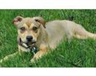 Adopt Cookie a Staffordshire Bull Terrier