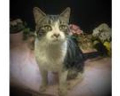 Adopt Charlie Chaplin a Brown or Chocolate (Mostly) Domestic Shorthair / Mixed