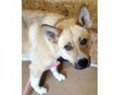 Adopt Goldie a Red/Golden/Orange/Chestnut - with White German Shepherd Dog /