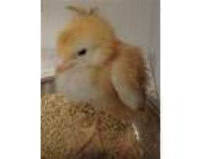 Adopt CHIRP a Chicken
