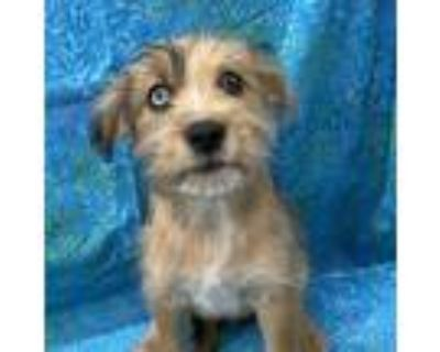 Adopt Jessica a Brown/Chocolate Terrier (Unknown Type, Small) / Mixed dog in
