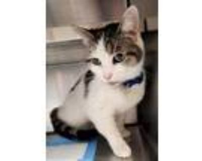 Adopt Lucy a White Domestic Mediumhair / Domestic Shorthair / Mixed cat in