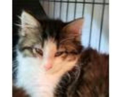 Adopt Ray a Brown or Chocolate Domestic Longhair / Mixed cat in Newport News