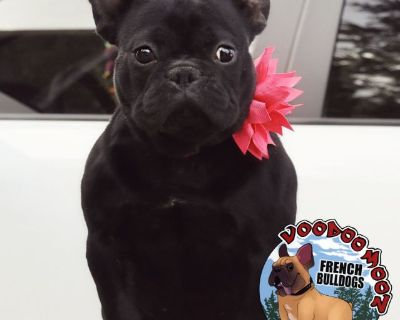 Young ADULT Female French Bulldog