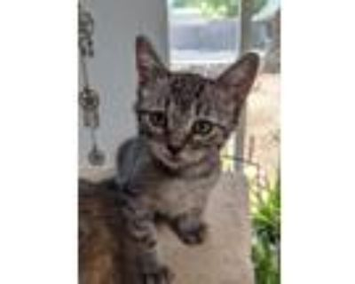 Adopt Bruce a All Black Domestic Shorthair / Mixed cat in Los Lunas