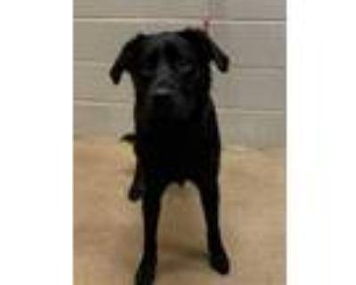 Adopt Chester* a Black Labrador Retriever / Mixed dog in Anderson, SC (32074007)
