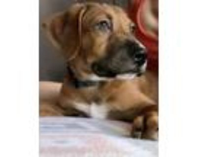 Adopt Rehorst a Brown/Chocolate Mixed Breed (Large) / Mixed dog in West Allis