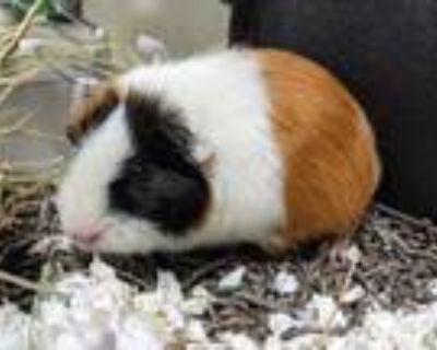 Adopt Bun a Orange Guinea Pig / Mixed small animal in Boulder, CO (31992589)
