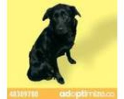 Adopt 48309780 a Black Retriever (Unknown Type) / Mixed dog in El Paso