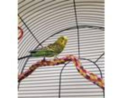 Adopt LOTUS a Parakeet (Other)