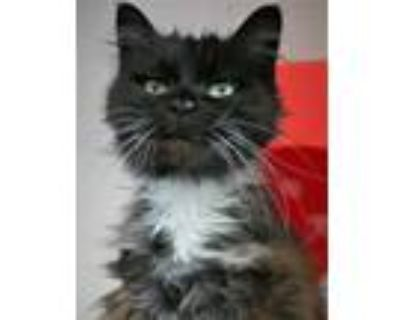 Adopt Mitsi a All Black Domestic Longhair / Domestic Shorthair / Mixed cat in